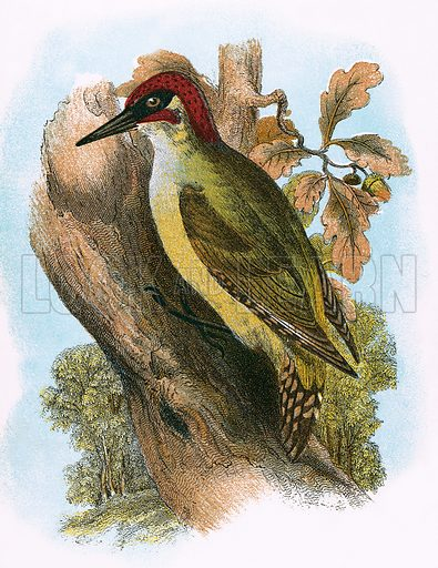 Green Woodpecker. A Hand-Book to the Birds of Great Britain by R Bowdler Sharpe (1896).