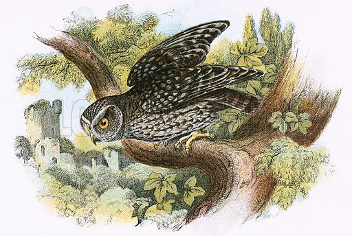Little Owl. A Hand-Book to the Birds of Great Britain by R Bowdler Sharpe (1896).