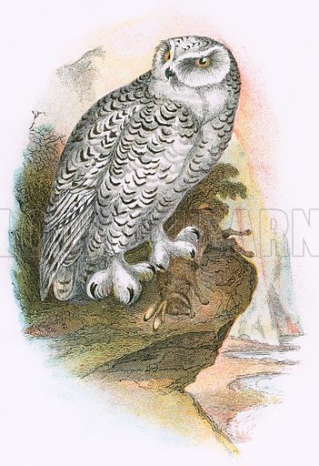 Snowy Owl. A Hand-Book to the Birds of Great Britain by R. Bowdler Sharpe (1896).