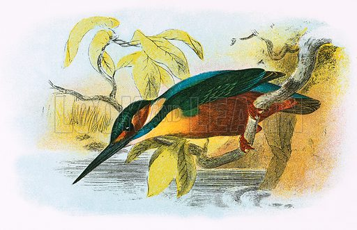 Kingfisher. A Hand-Book to the Birds of Great Britain by R Bowdler Sharpe (1896).