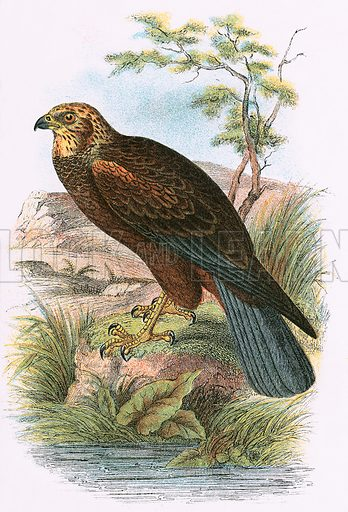 Marsh Harrier. A Hand-Book to the Birds of Great Britain by R. Bowdler Sharpe (1896).