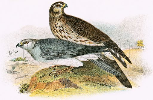 Hen Harrier. A Hand-Book to the Birds of Great Britain by R Bowdler Sharpe (1896).