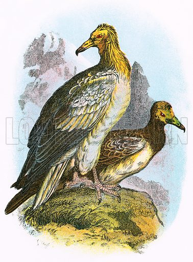 Egyptian Vulture. A Hand-Book to the Birds of Great Britain by R. Bowdler Sharpe (1896).