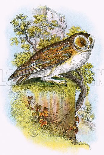 Barn Owl. A Hand-Book to the Birds of Great Britain by R. Bowdler Sharpe (1896).