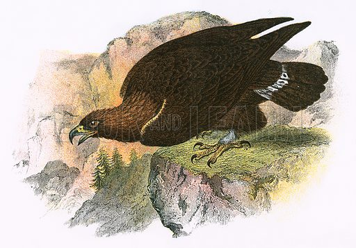 Golden Eagle. A Hand-Book to the Birds of Great Britain by R. Bowdler Sharpe (1896).