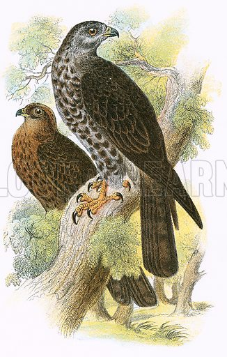 Honey Kite. A Hand-Book to the Birds of Great Britain by R Bowdler Sharpe (1896).