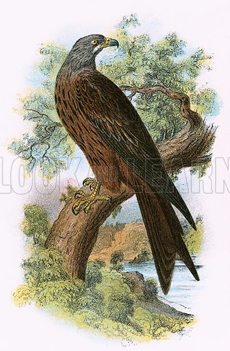 Kite. A Hand-Book to the Birds of Great Britain by R Bowdler Sharpe (1896).