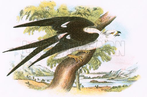 Swallow-Tailed Kite. A Hand-Book to the Birds of Great Britain by R Bowdler Sharpe (1896).