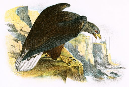 White tailed Sea Eagle. A Hand-Book to the Birds of Great Britain by R Bowdler Sharpe (1896).