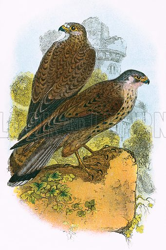 Kestrel. A Hand-Book to the Birds of Great Britain by R Bowdler Sharpe (1896).