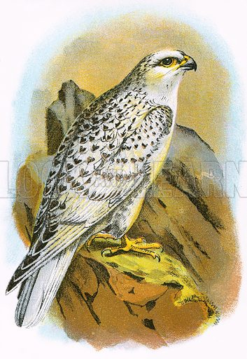 Greenland Falcon. A Hand-Book to the Birds of Great Britain by R. Bowdler Sharpe (1896).