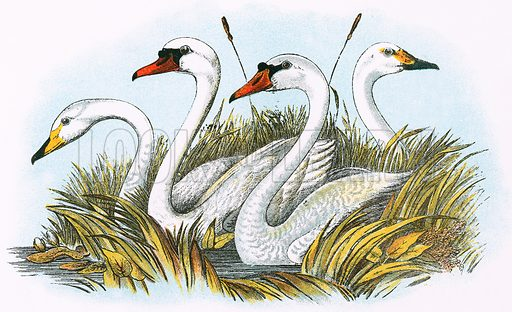 Heads of species of British Swans. A Hand-Book to the Birds of Great Britain by R Bowdler Sharpe (1896).