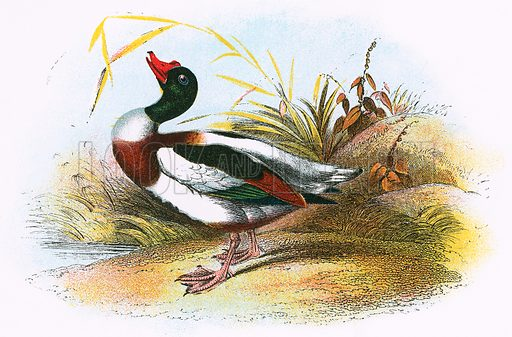Common Sheld-Duck. A Hand-Book to the Birds of Great Britain by R. Bowdler Sharpe (1896).
