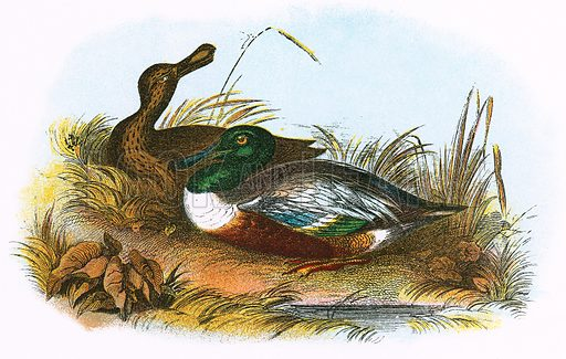Shoveler. A Hand-Book to the Birds of Great Britain by R Bowdler Sharpe (1896).