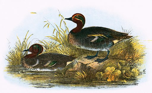 Teal (right) and American Teal (left). A Hand-Book to the Birds of Great Britain by R Bowdler Sharpe (1896).