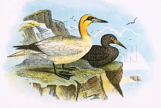 Gannet. A Hand-Book to the Birds of Great Britain by R Bowdler Sharpe (1896).