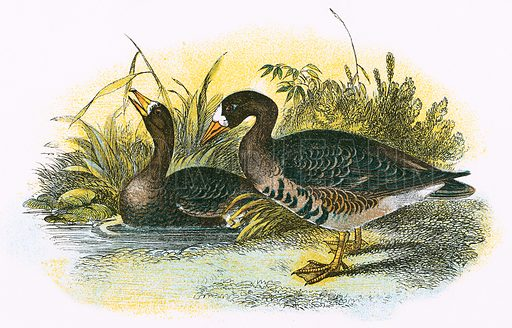 White fronted Goose. A Hand-Book to the Birds of Great Britain by R Bowdler Sharpe (1896).