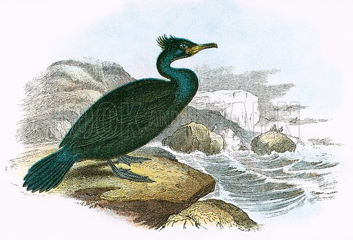 Shag. A Hand-Book to the Birds of Great Britain by R Bowdler Sharpe (1896).
