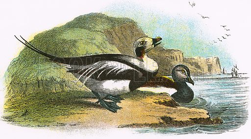 Long tailed Duck. A Hand-Book to the Birds of Great Britain by R. Bowdler Sharpe (1896).