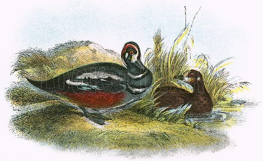 Harlequin Duck. A Hand-Book to the Birds of Great Britain by R. Bowdler Sharpe (1896).