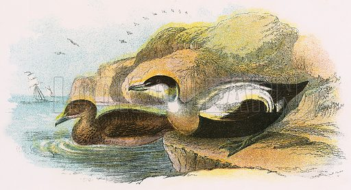 Common Eider - Birds of Britain, illustration, picture