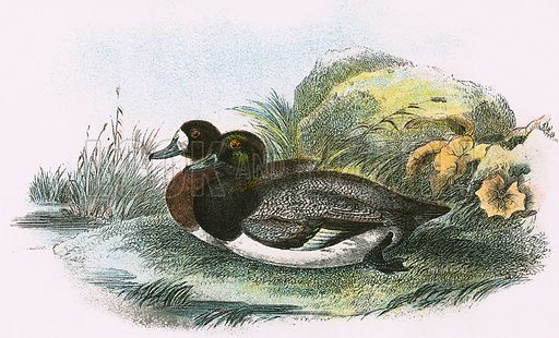 Scaup Duck. A Hand-Book to the Birds of Great Britain by R. Bowdler Sharpe (1896).