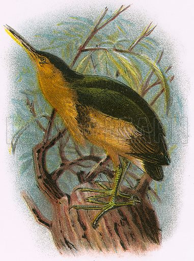 Little Bittern. A Hand-Book to the Birds of Great Britain by R. Bowdler Sharpe (1896).