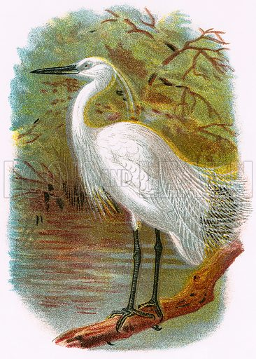 Little Egret. A Hand-Book to the Birds of Great Britain by R. Bowdler Sharpe (1896).