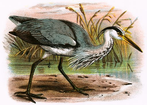 Common Heron. A Hand-Book to the Birds of Great Britain by R. Bowdler Sharpe (1896).