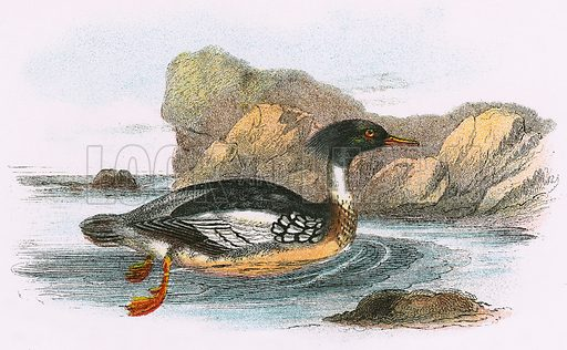 Red breasted Merganser. A Hand-Book to the Birds of Great Britain by R. Bowdler Sharpe (1896).
