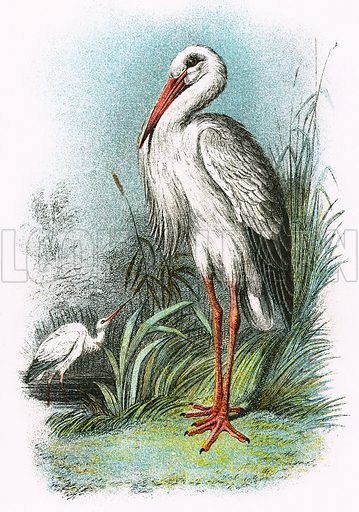 White Stork. A Hand-Book to the Birds of Great Britain by R. Bowdler Sharpe (1896).