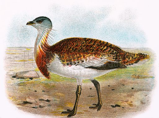 Great Bustard. A Hand-Book to the Birds of Great Britain by R. Bowdler Sharpe (1896).