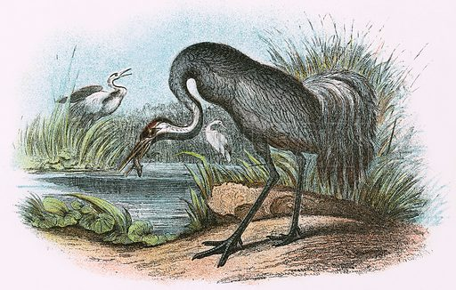 Common Crane. A Hand-Book to the Birds of Great Britain by R. Bowdler Sharpe (1896).