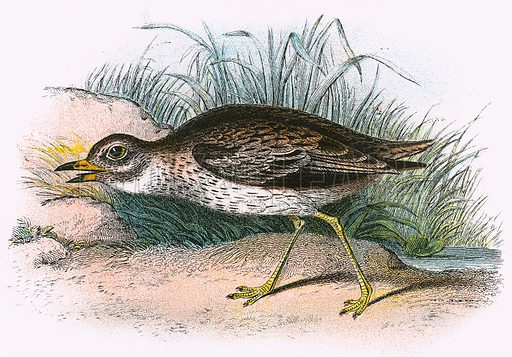 Stone Curlew. A Hand-Book to the Birds of Great Britain by R. Bowdler Sharpe (1896).