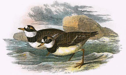 Ringed Plover. A Hand-Book to the Birds of Great Britain by R. Bowdler Sharpe (1896).