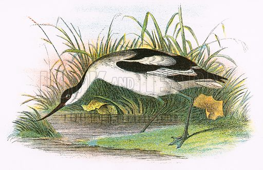 Avocet. A Hand-Book to the Birds of Great Britain by R. Bowdler Sharpe (1896).