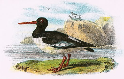 Oyster Catcher. A Hand-Book to the Birds of Great Britain by R. Bowdler Sharpe (1896).
