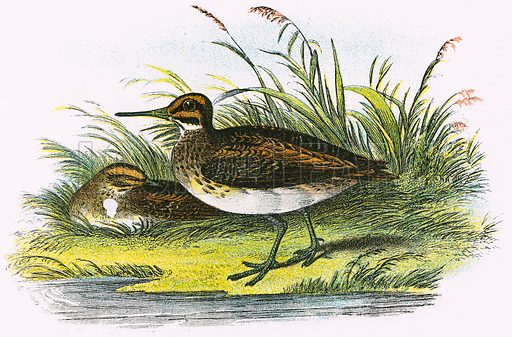 Jack Snipe. A Hand-Book to the Birds of Great Britain by R. Bowdler Sharpe (1896).