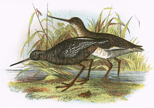 Spotted Redshank. A Hand-Book to the Birds of Great Britain by R. Bowdler Sharpe (1896).