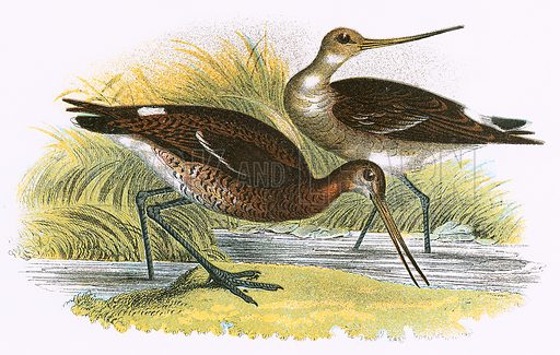 Black tailed Godwit. A Hand-Book to the Birds of Great Britain by R. Bowdler Sharpe (1896).