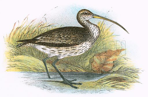 Common Curlew. A Hand-Book to the Birds of Great Britain by R. Bowdler Sharpe (1896).