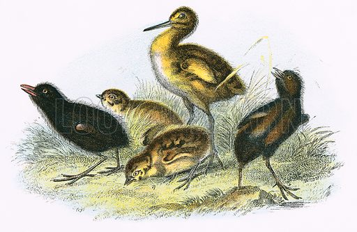 Curlew, Land Rail, Partridge and  Moor Hen (clockwise). A Hand-Book to the Birds of Great Britain by R. Bowdler Sharpe (1896).