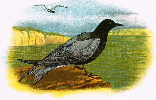 Black Tern. A Hand-Book to the Birds of Great Britain by R. Bowdler Sharpe (1896).