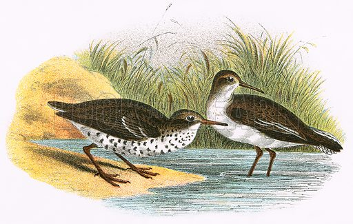 Common Sandpiper (right) and Spotted Sandpiper (left). A Hand-Book to the Birds of Great Britain by R. Bowdler Sharpe (1896).