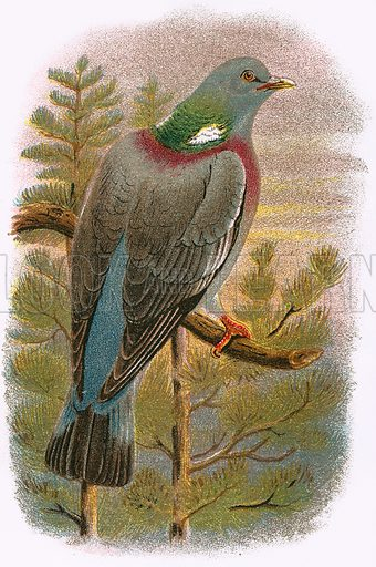 Wood Pigeon. A Hand-Book to the Birds of Great Britain by R. Bowdler Sharpe (1896).