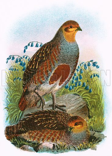 Common Partridge. A Hand-Book to the Birds of Great Britain by R. Bowdler Sharpe (1896).