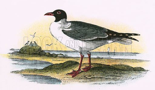 American Laughing Gull. A Hand-Book to the Birds of Great Britain by R. Bowdler Sharpe (1896).
