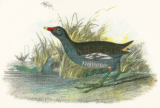 Moor Hen. A Hand-Book to the Birds of Great Britain by R. Bowdler Sharpe (1896).