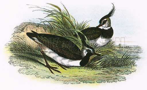 Lapwing. A Hand-Book to the Birds of Great Britain by R. Bowdler Sharpe (1896).