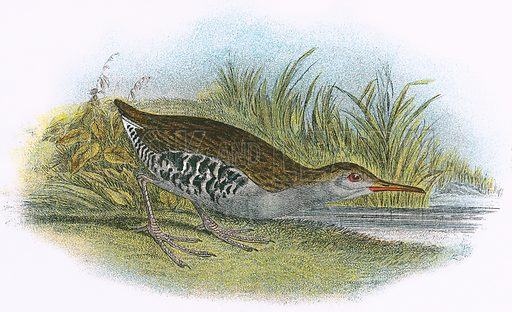 Water Rail. A Hand-Book to the Birds of Great Britain by R. Bowdler Sharpe (1896).
